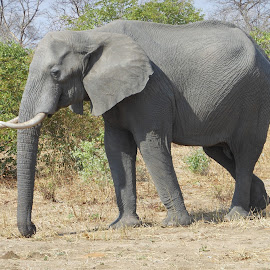 Elephant on Main road by Joss van Wyk - Animals Other ( chobe, botswana, elephant, africa, kasane )