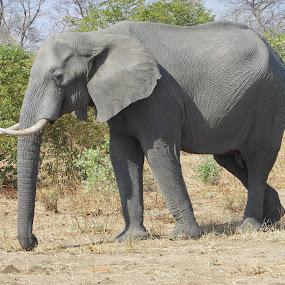 Elephant on Main road by Joss van Wyk - Animals Other ( chobe, botswana, elephant, africa, kasane )