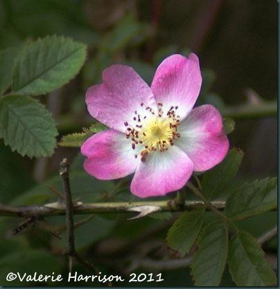 1-dog-rose