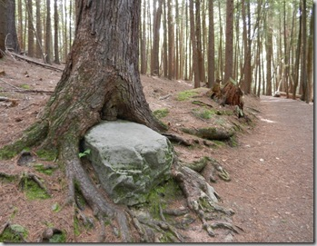 cooksburg_long_fellow_trail_tree_eating_rock