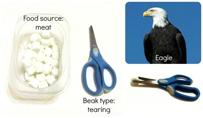 Montessori Tidbits:  Bird beak tearing eagle