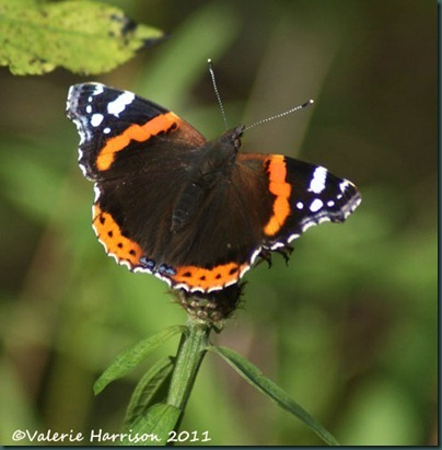 27-red-admiral
