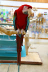 This mostly red bird is a green-winged macaw.  His beak is so powerful, it can snap a broomstick in half!