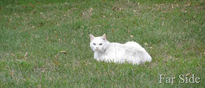 The white cat waits