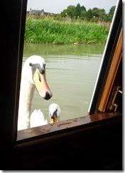 great bedwyn swans