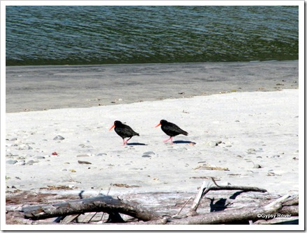 Oyster Catchers on the Mokihinui river estuary.