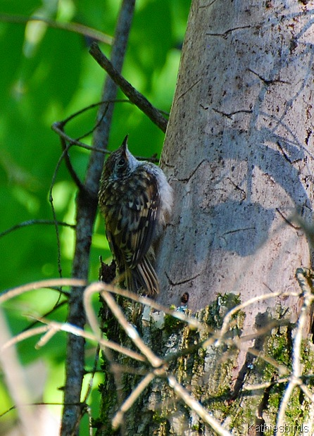 10. Brown creeper, ME-kab