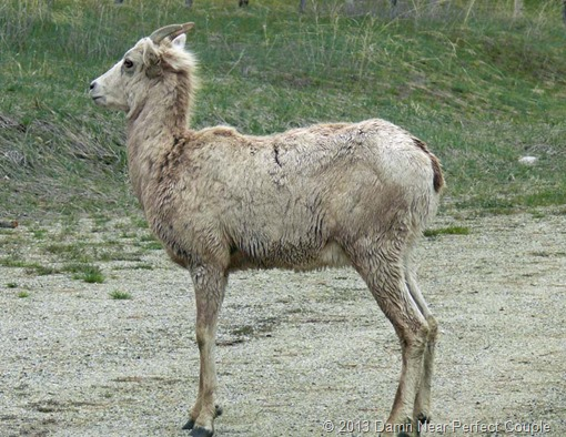 Female Big Horn