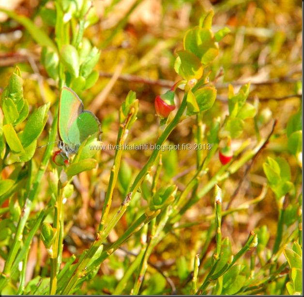 asfaltti työ vt 8 Kangasperhonen (Callophrys rubi) 098