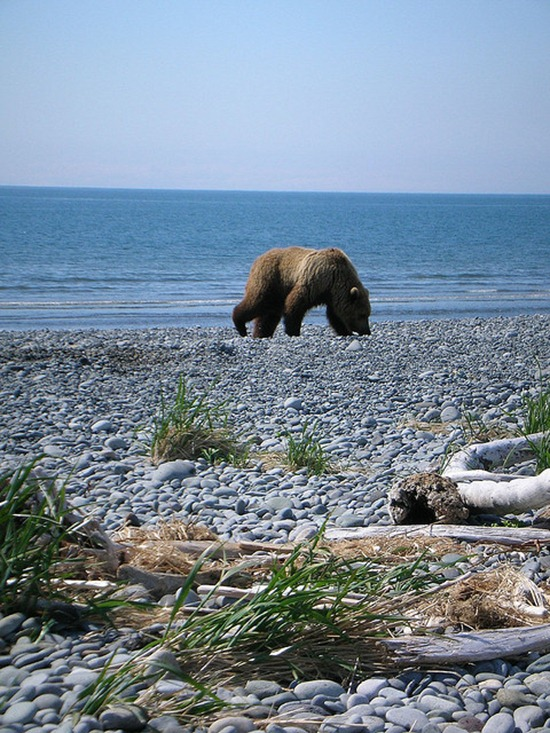 Grizzly bear in search of food and visiting Long Beach in Katmai