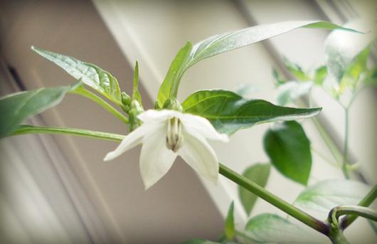 chilli_flower.jpg