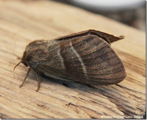 Fox-Moth-3