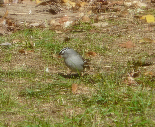 Adult White-crowned Sparrow in the yard, October 14, 2012