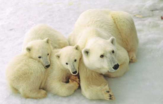 Female polar bear and her two cubs near Churchill, Manitoba. Photo by Travel Manitoba