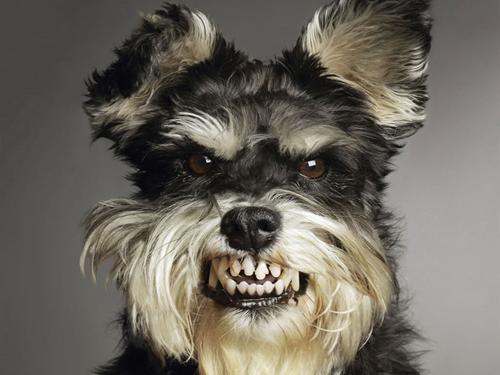 Cachorro mostrando os dentes