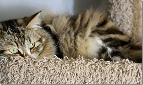 gatto-donatore