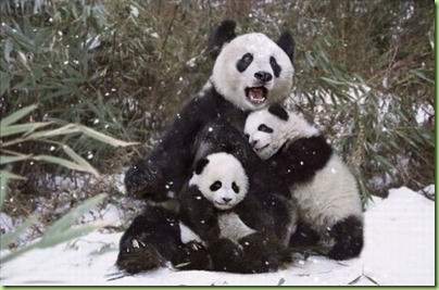 cute_panda_family_enjoys_the_first_snow_08