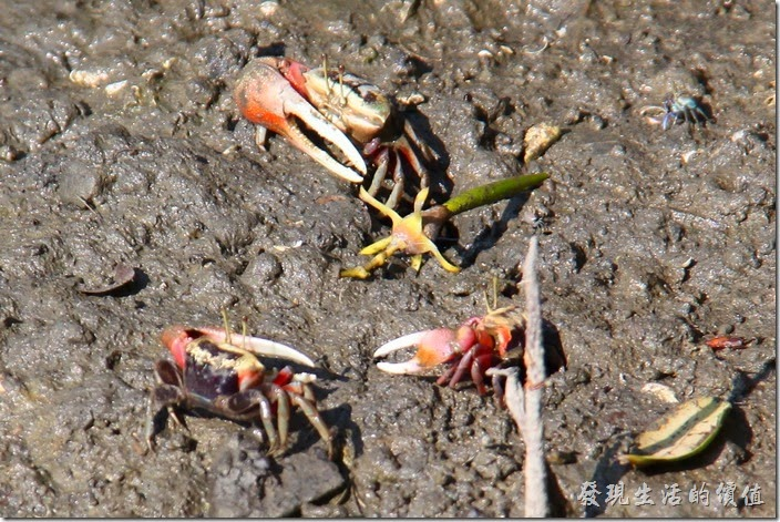 台南-四草竹筏綠色隧道(招潮蟹)。最先開始會有溼地的小動物,招潮蟹出來跟大家見面。這招潮蟹有的舉著右大螯,有的舉著左大螯,其實只要擁有大螯的就是公的,沒有大螯的則是母的。