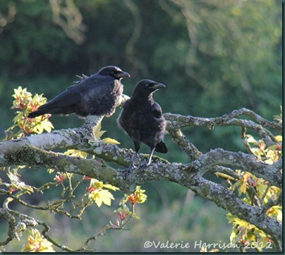 8-juv-crows