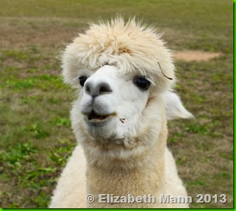 Alpaca facial expression