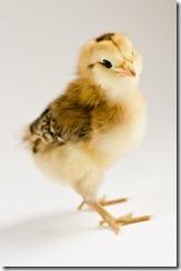 ChicksApr29-9072