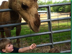 mj feeding camel