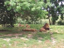 2009.05.22-013 lions