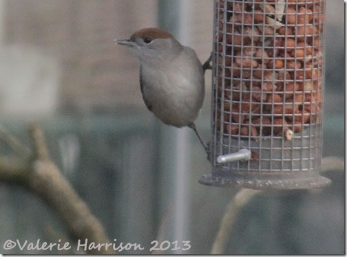 female-blackcap