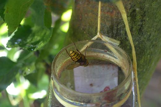 Hornet dipping in
