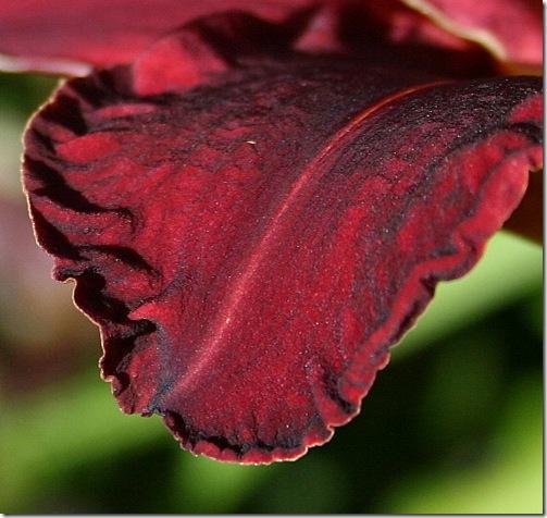 garden-daylily-ed-m-petal-aug08