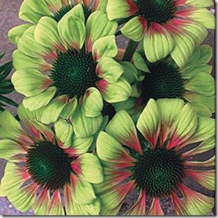 Echinacea_Green_Envy