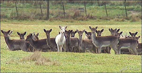 Death to half deer British