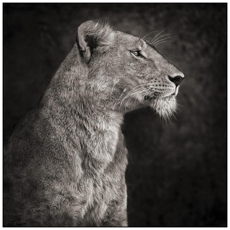6 Lioness Against Rock