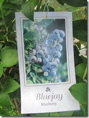 blueberriesbluejay2