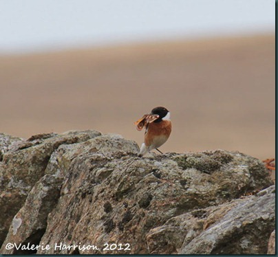 54-stonechat-and-emperor