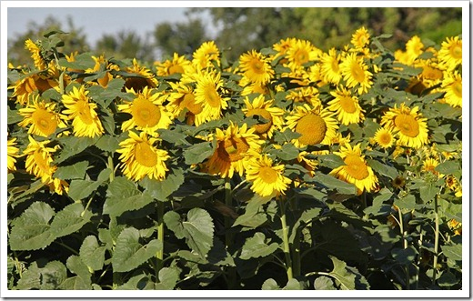 110707_sunflowers_davis_01