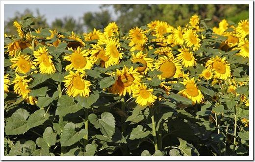110707_sunflowers_davis_01