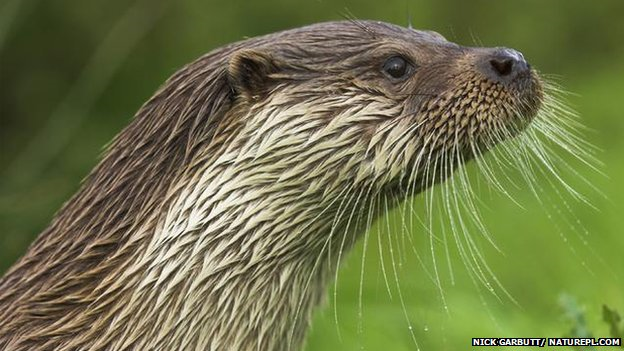 The shy and elusive otter is still a rare sight in England and Wales. Otters' reproductive organs may be affected by chemicals in British waterways, according to scientists. Experts suggest that, based on previous research, the changes could be linked to hormone-disrupting chemicals. Photo: Nick Garbutt / Naturepl.com