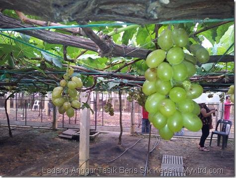 Ladang Anggur Tasik Beris 18