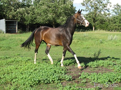 Akhal-Teke by the name of M