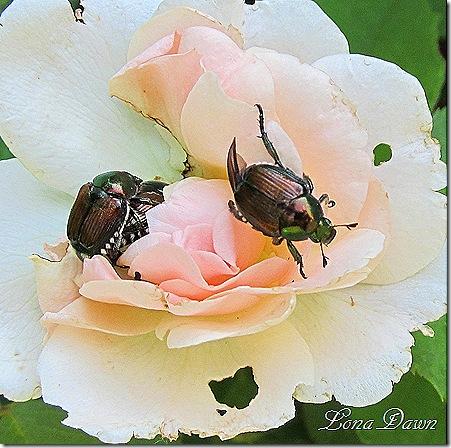 Japanese_Beetles