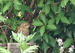 norma's baby robin