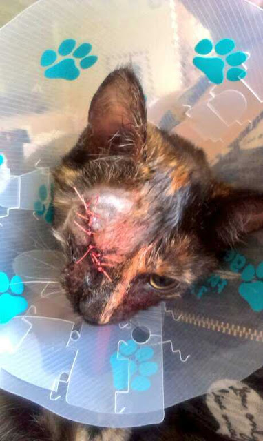 tortie kitten with eye stitched up
