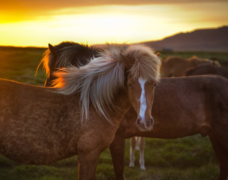 two horses in iceland