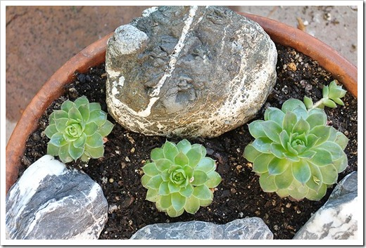 110828_new-sempervivum-bowl_03