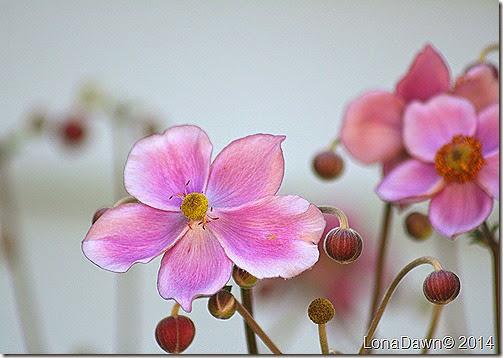 Anemone Japanese Charlotte