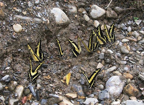 Papilio thoas cinyras MÉNÉTRIÉS, 1857. Rio Broncini (alt. 600 m) au nord-ouest de Caranavi (Bolivie), 16 janvier 2004. Photo : J. F. Christensen