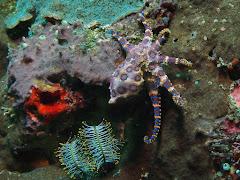 Blue ringed octopus at Gili Biaha