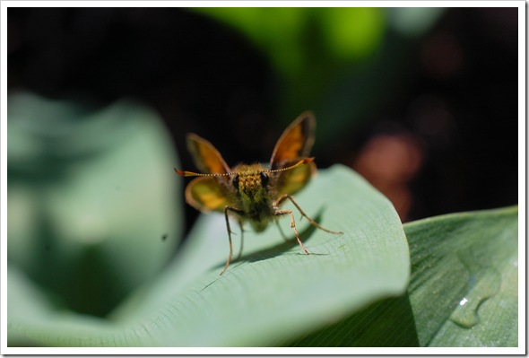 BUTTERFLY SKIPPER STANDING (4)2