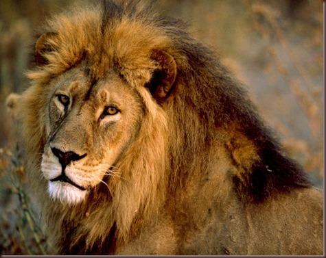Amazing Animals Pictures Lion  (14)